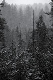 Forest of Pine Trees in Winter Snowy Storm Snow Flakes Falling Stock Photo