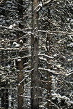 Forest of Pine Trees in Winter Snowy Storm Snow Flakes Falling Royalty Free Stock Photography
