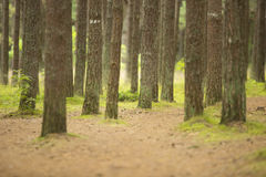 Forest - pine trunks Royalty Free Stock Images