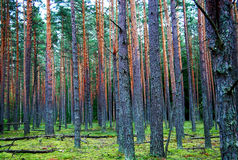 Forest of pines. Photo of Latvian pines forest, made in the middle of moss Royalty Free Stock Image