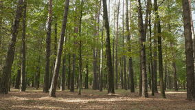 Forest of the pines. Autumn daytime. Smooth dolly shot.  stock footage