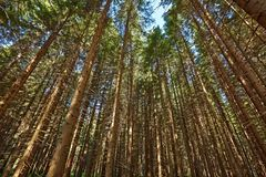 Forest of Pines Stock Image