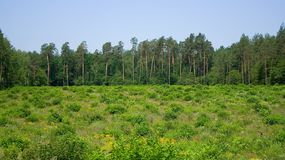 Forest pines field Stock Photography