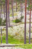 Forest with pines trees and lichen Royalty Free Stock Photography