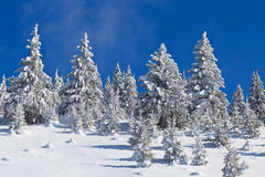 Forest with pines in winter Stock Photo