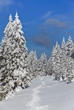 Forest with pines in winter Stock Images