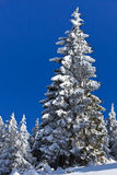Forest with pines in winter Stock Photos