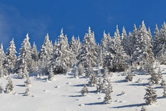 Forest with pines in winter Royalty Free Stock Photography