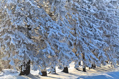 Forest with pines in winter Royalty Free Stock Photo
