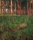 Forest with pinetrees. Trunks and meadow. Royalty Free Stock Images
