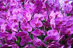 A forest of pink orchid flowers stock photography