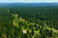 Forest of pinus var.mongolica Stock Image