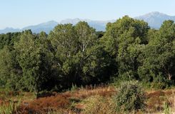 Forest in plain of Aleria. Plain of Aleria in Corsica island Royalty Free Stock Photos