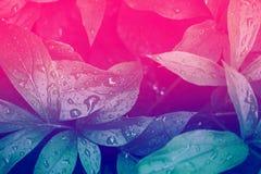 Forest Plants selvaggio fresco Bagni le foglie dopo pioggia con le gocce di acqua Alzavola bitonale d'avanguardia di rosa di pend fotografie stock