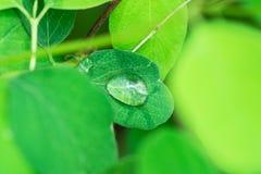 Forest Plants selvaggio verde fresco Foglie rotonde dopo pioggia con le gocce di acqua Fondo botanico della natura Manifesto dell fotografie stock