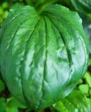 Forest Plants selvaggio verde fresco Grande foglia del plantano di Ribwort Fondo botanico della natura Modello del manifesto dell fotografie stock