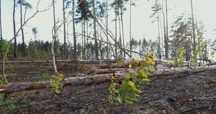 Forest plot cleared from the trees. At the logging in the forest. Forest plot cleared from the trees. landscape of logging station with lots of cutten trees stock video