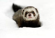 Forest polecat Royalty Free Stock Image