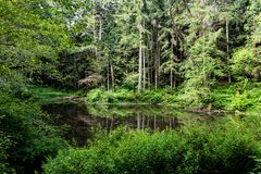 Forest pond with lush green spring overgrowth and reflection. Of trees Royalty Free Stock Images