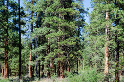 Forest of Ponderosa pine trees Stock Photography