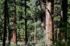 Forest of Ponderosa pine trees Royalty Free Stock Image