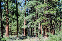 Forest of Ponderosa Pine Trees in Oregon Stock Images