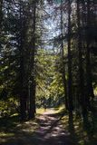 Forest of Pontechianale - Piemonte. Italy royalty free stock photo