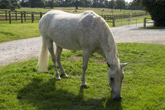 Forest Pony novo cinzento Fleabitten que pasta Fotos de Stock