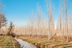 Forest of poplars. Royalty Free Stock Photo