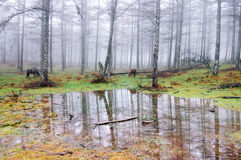 Forest with puddle and horses Stock Photos
