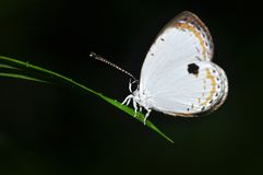 Forest quaker butterfly. Of thailand background Royalty Free Stock Photo