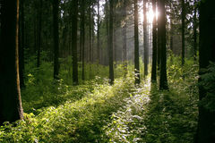 Forest after rain. Picture of the trees in sunlight Stock Images