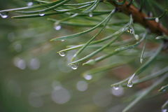 In the forest after a rain. drops of crystal clear water, the dew on the long green needles of a young pine. Macro photo. Royalty Free Stock Photos