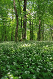 Forest with ramsons Stock Photos