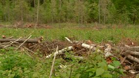 A forest ranger inspects and measures the damage caused by illegal logging