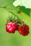 Forest raspberry Stock Images