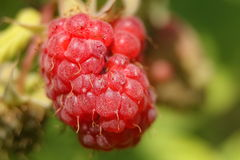 Forest raspberry royalty free stock image