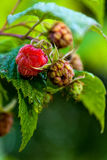 Forest raspberry Royalty Free Stock Photos