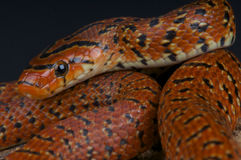 Forest rat snake / Euprepiophis conspicillatus Royalty Free Stock Photos