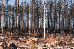 Forest ravaged by fire Royalty Free Stock Image