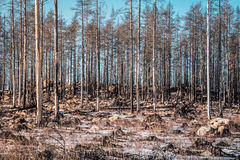 Forest ravaged by fire Royalty Free Stock Photos