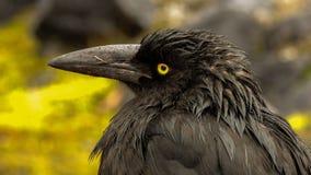Forest Raven Royaltyfria Bilder