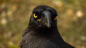 Forest Raven curioso fotografie stock