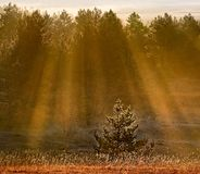 Forest and rays. Beautiful sunset in the forest Stock Photos