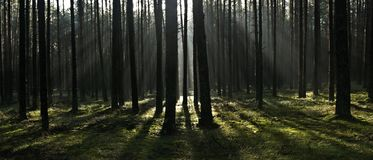 Forest, The Rays, Morning, Tree Stock Photos