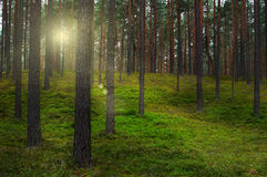 The forest in the rays of the setting sun. Stock Photography