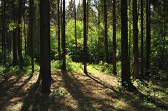 Forest in a rays of sun Royalty Free Stock Images