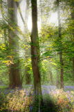 Forest rays sunlight A. Rays of sunlight through trees in a bluebell covered forest Royalty Free Stock Images