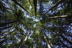Forest reaching for the sky. Tall trees in forest reaching the sky and filtering the sky rays creates a very pleasant environment for plants and wildlife in stock photo