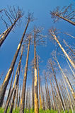 A forest after a recent wildfire. Royalty Free Stock Photos